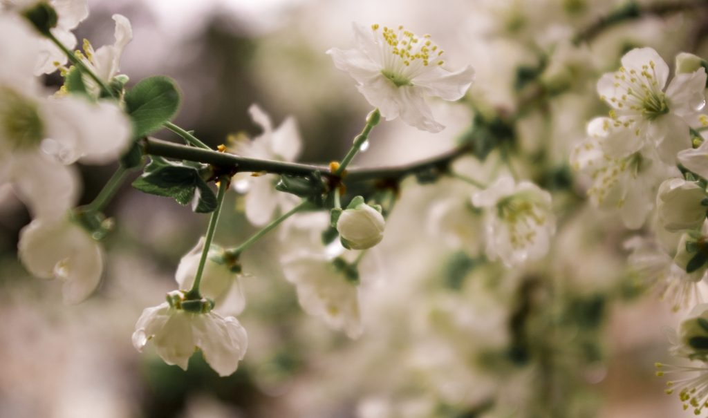 Color photograph of spring blossoms on a tree branch with drops of rain clinging to them.